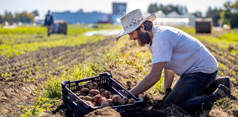 Étudiants récoltant des patates sur les terres de l'INAB